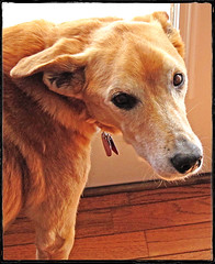 Old Dogs are the Best Dogs! (FotoEdge) Tags: winter dog brown sunlight dogs kitchen sunshine canon fur jack happy golden spring chair friend collie lab warm soft glow play sweet sleep kisses run eat missouri bark 7d glowing hugs 12 turning twelve hardwood olddogs fotoedge bestdogs kitchendog
