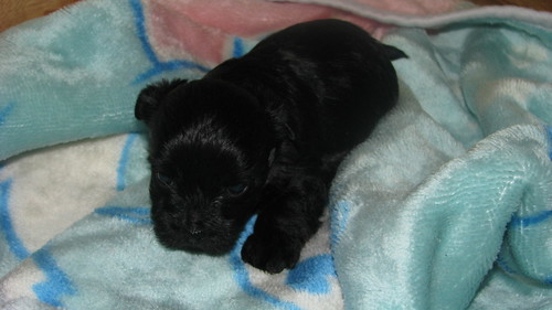 Teacup Yorkiepoo Puppy at 5 weeks