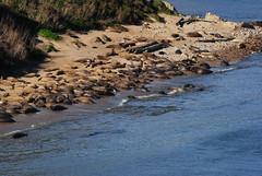 A larger harem of elephant seals