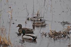 Mallard pair & Pintail pair (Jim_AC) Tags: winter birds ducks forsythe nwr anatidae anseriformes