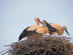 IMG_5213 Stork mama and babies (pinktigger) Tags: stork cigüeña storch cicogne ooievaar ciconiaciconia cicogna cegonha bird nature fagagna feagne friuli italy italia oasideiquadris animal outdoor nest