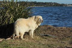 Daisy (night_owl_designs) Tags: warnersbay lakemacquarie dog labrador