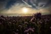 Wide open land (grundi1) Tags: sony alpha 68 ilca a68 sigma1770f2845dcmacro verlaufsfilter sunset sonnenuntergang disteln thistle vanagram flower blume nature blau blue sigma 1770 f2845