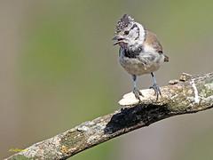 Herrerillo capuchino (Lophophanes cristatus) (4) (eb3alfmiguel) Tags: aves pajáros insectívoros passeriformes paridae herrerillocapuchino