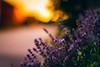 Grab The Sunset (der_peste) Tags: lavender flower bokeh dof summer sunset sundown backlight mood atmosphere summerfeeling sonya7ii sel85f14gm 85mm f14 blur circles bubbles