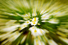 Flowering. Chamomile. Blooming chamomile field, Chamomile flowers. Natural herbal treatment. (sergeitukach) Tags: abstract background chamomile daisy flower nature plant white beautiful blossom natural petal spring yellow bloom design leaf summer field meadow floral texture beauty flora growth herbal season card copyspace frame greeting herb love romance vintage bokeh fresh green sky blooming botanical bud closeup group landscape rural soft sunlight anniversary birthday