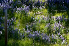 Dappled (bonniecairns1) Tags: flowers wildflowers purple green summer supernaturalbc bc canada outdoors sceniclandscape landscapephotography landscape nikonphotography bonniecairns nature naturephotography happyfencefriday