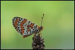 DSC_9335-06-08-1 - melitaea didyma (r.zap) Tags: melitaeadidyma farfalla rzap parcodelticino