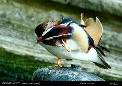 Mandarinente (Deso1904) Tags: berlinfriedrichshain axigalericulata mandarinente enten vögel