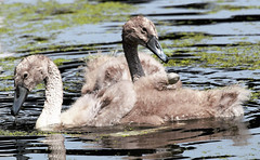 cygnets (I was blind now I see!) Tags: cygnets swans babies young beaks necks feather down water