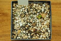 1er juillet 2017 - Conophytum luckhoffii R&Y1821, 222 jours (Mafate79) Tags: 2017 conophytumluckhoffiiry1821 aizoaceae aizoacées aizoacée mesemb mesembryanthemaceae mesembryanthemacées mesembryanthemacée plante semis s16051