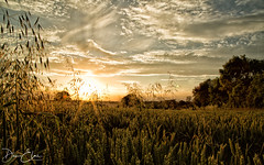 Colne sunset (Dan Elms Photography) Tags: earlscolne canon danelms danelmsphotography essex sun sunset talldan76 braintreedistrict england unitedkingdom gb