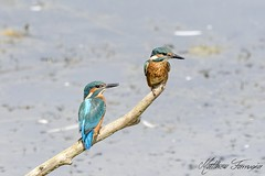 Common Kingfishers (Juveniles) (Males) (Alcedo Atthis) (CentricMalteser) Tags: july2017 july 2017 bird birds kingsdykenaturereserve kingsdyke kingsdykereserve whittlesey peterborough cambridgeshire wildlifeanimal wildlife animal animals wildlifeanimals matthewfarrugia matthew farrugia centricmalteser canon7dmkii canon 7d mkii eos7dmkii 7dmkii canoneos7dmkii eos canoneos commonkingfisher alcedoatthis common kingfisher alcedo atthis eastanglia
