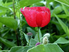 2017-06-30 one poppy (11) (april-mo) Tags: poppies poppy coquelicot coquelicots wildflower redandgreen fleursauvage red rouge