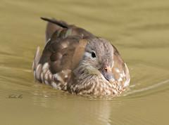 Mandarin-7367 (Kulama) Tags: mandarinduck mandarin duck birds nature wildlife water summer canon7dmarkii sigma150600563c