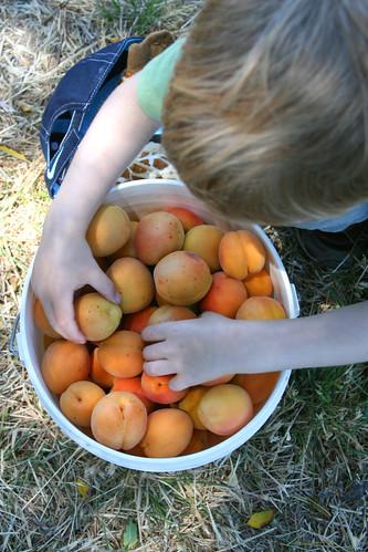 12lbs apricots