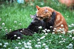 IMG_3289 (chrisgandy2001) Tags: cute cat ginger kitten tabby longhair fluffy pussycat longhaired gingertabby britishdomestic