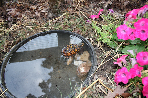 Jeremiah Swakhammer sits on his exit ramp of rocks, regarding some bright pink petunias with a disapproving gaze. Turtles are often disapproving as well as dubious. The water has made the markings on his face and shell bright, bright gold.