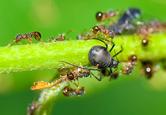 Ants Tending Aphids (aeschylus18917) Tags: macro nature japan bug insect nikon g ant micro  txt nikkor f28 aphid vr pxt 105mm hymenoptera  truebug insecta  105mmf28 aphidoidea hemiptera apocrita formicidae 105mmf28gvrmicro  vespoidea aphidfarming sternorrhyncha d700 nikkor105mmf28gvrmicro sternorryncha   danielruyle aeschylus18917 danruyle druyle