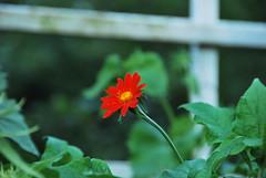 Red Flower (thoth1618) Tags: park flower brooklyn garden bbg brooklynbotanicgarden botanicgarden brooklynny brooklynusa memberssummerevening bbgmemberssummerevening brooklynbotanicgardenmemberssummerevening