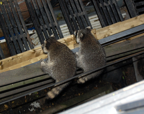 Raccoons at Augusta Avenue (4)