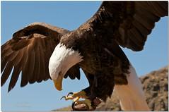 bald eagle (susodediego ) Tags: nature grancanaria eagle adler baldeagle aquila guia canaryisland aigle arend guila palmitospark    nikond300
