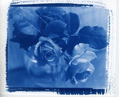 Perfect Roses (akki14) Tags: roses stilllife 4x5 rodinal ning mpp cyanotype fomapan100 altprocess