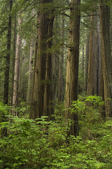 Redwood Forest (David M. Cobb) Tags: california ca trees light sunset red usa mist tree green misty fog forest foggy redwood redwoods redwoodnationalpark sequoiasempervirens dapplelight nearcrescentcity