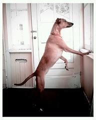 Grace on the look out... (Argent Imaging) Tags: dog mi michigan incredible vignette droid htc potcake canislupusfamiliaris argentimaging droidincredible htcdroidincredible
