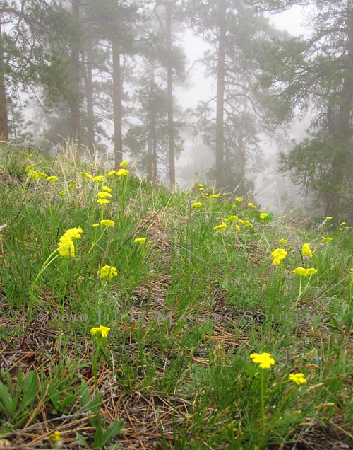 Yellow flower covered hillside with pines in fog.