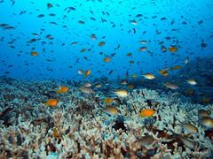 Abundance - Similan Islands, Thailand (_takau99) Tags: ocean trip travel cruise sea vacation holiday fish uw nature water topv111 pen islands topv555 topv333 asia underwater wildlife topv1111 indianocean topv444 may scuba diving olympus topv222 explore scubadiving topv777 phuket topv666 topf10 similan khaolak 2010 andaman andamansea similanislands takau99 tachai penlite mywinners kohtachai edive epl1 tachaiisland tachaibeach