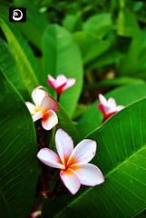 ( ) Tags: flowers araliya