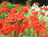 Botanischer Garten WHV 2010 (andreas.rombusch) Tags: lychnis caryophyllaceae brennendeliebe haageanahybr