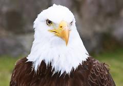(Drea_C) Tags: nature quito ecuador eagle serious wildlife canonxsi