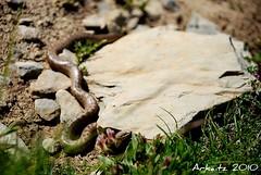 ups!!!!  (Arkaitz Rezola) Tags: snake monte pirineos mendia serpiente euskal herria arkaitz vbora pirineoak rezola sugea sugegorria