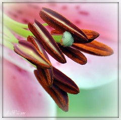 When Lilies Bloom (PhotoArtOne) Tags: flowers plants macro nature petals lily blossom bestofmywinners