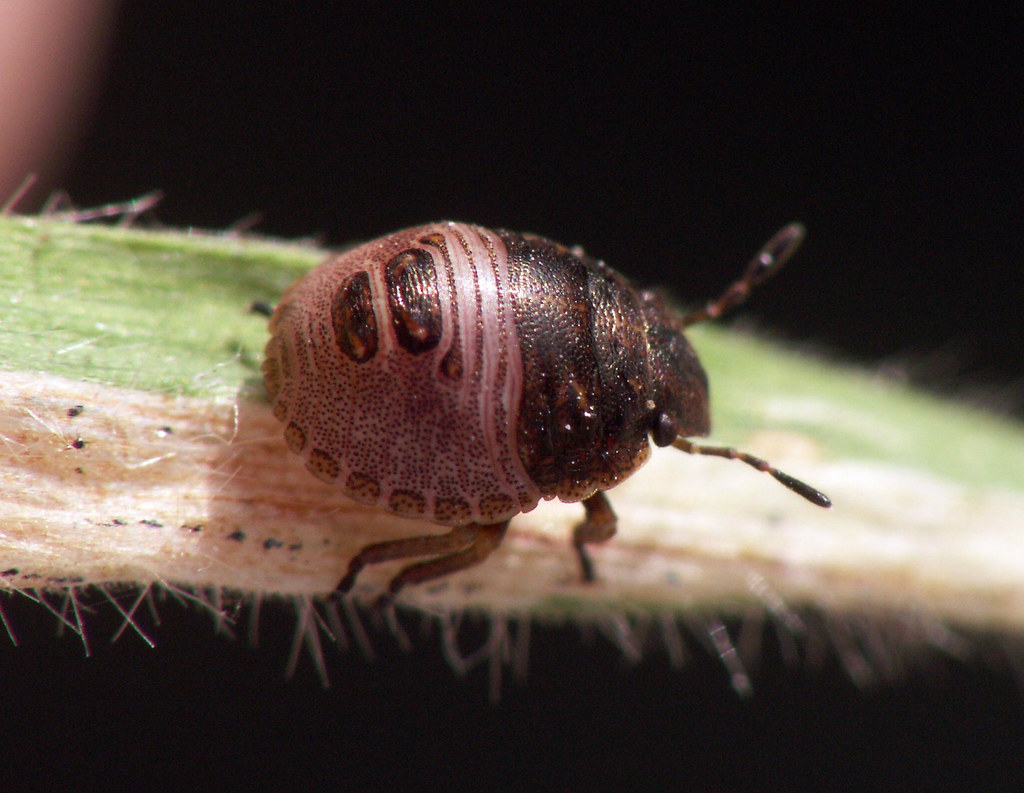 Scutelleridae - Eurygaster testudinaria nymph (Ashley _Wood) Tags: uk ...
