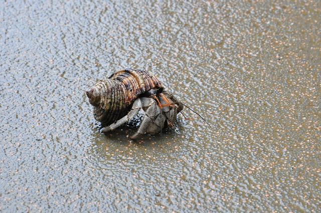 Hermit Crab on Cape Manza