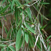 Foto: Japanse bamboe