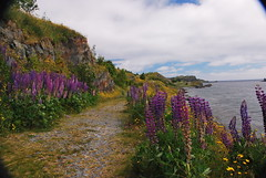 Lupins on Shoreline Heritage Walk