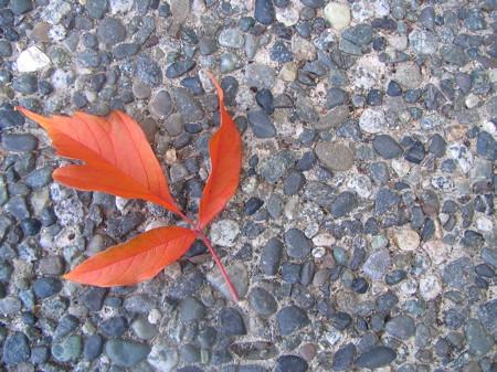 Nice orange in this Maple leaf