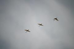 DSC_2289 (Alexander van der Sar) Tags: birds lepelaar