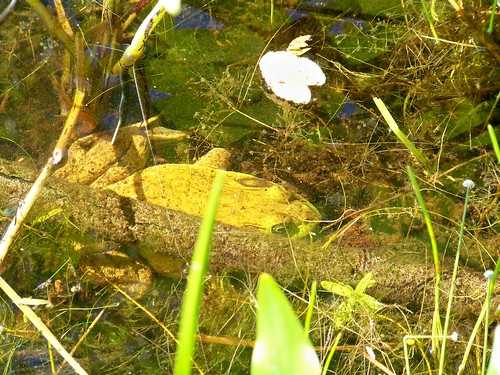 Massive Bullfrog
