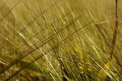 Criss Cross (joeke pieters) Tags: barley grain gerst graan