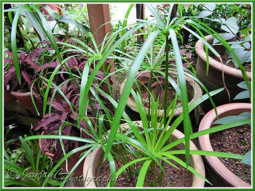 Young plants of Cyperus involucratus (Umbrella Plant/Sedge) that were propagated from tip cuttings, inversed in water