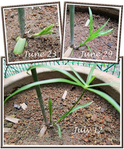 Propagating Cyperus involucratus (Umbrella Plant, Umbrella Sedge) by inverting tip cutting in potting soil - showing its progress