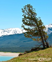 9246 Preacher's Point - Abraham Lake (Harvey Brink - Canadian Visuals) Tags: trees canada grass bluesky snowcapped alberta rockymountains windblown canadianrockies leaningtree abrahamlake
