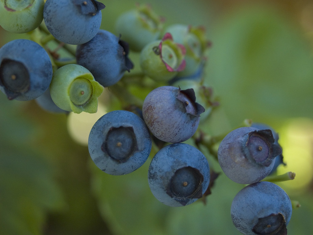 ripening blueberries 1