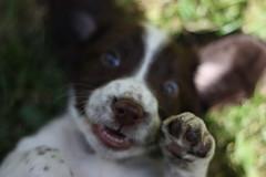 IMG_4348 (chrisgandy2001) Tags: dog cute english puppy cuddly spaniel springer springerspaniel doggy pup englishspringerspaniel englishspringer