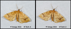 fotoopa 20100629_4098 Bessentakvlinder - Eulithis mellinata (fotoopa) Tags: macro insect mirror stereoscopic stereophotography 3d crosseye crosseyed flight insects stereo thuis highspeed crossview nachtvlinder flyingobjects 3dmacro highspeedmacro fotoopa eulithismellinata bessentakvlinder frontmirror dslrstereo frontsidemirror 3dinsects 3dinflight crosseyedphotography